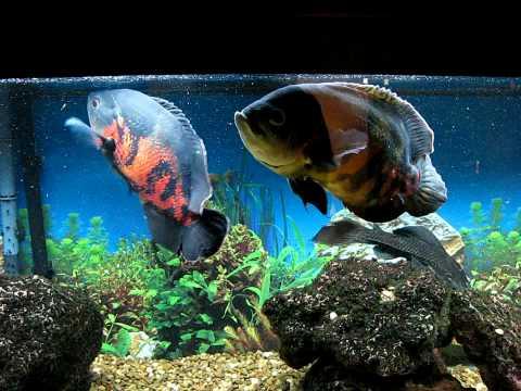 Oscar Fish Part 1 (How...