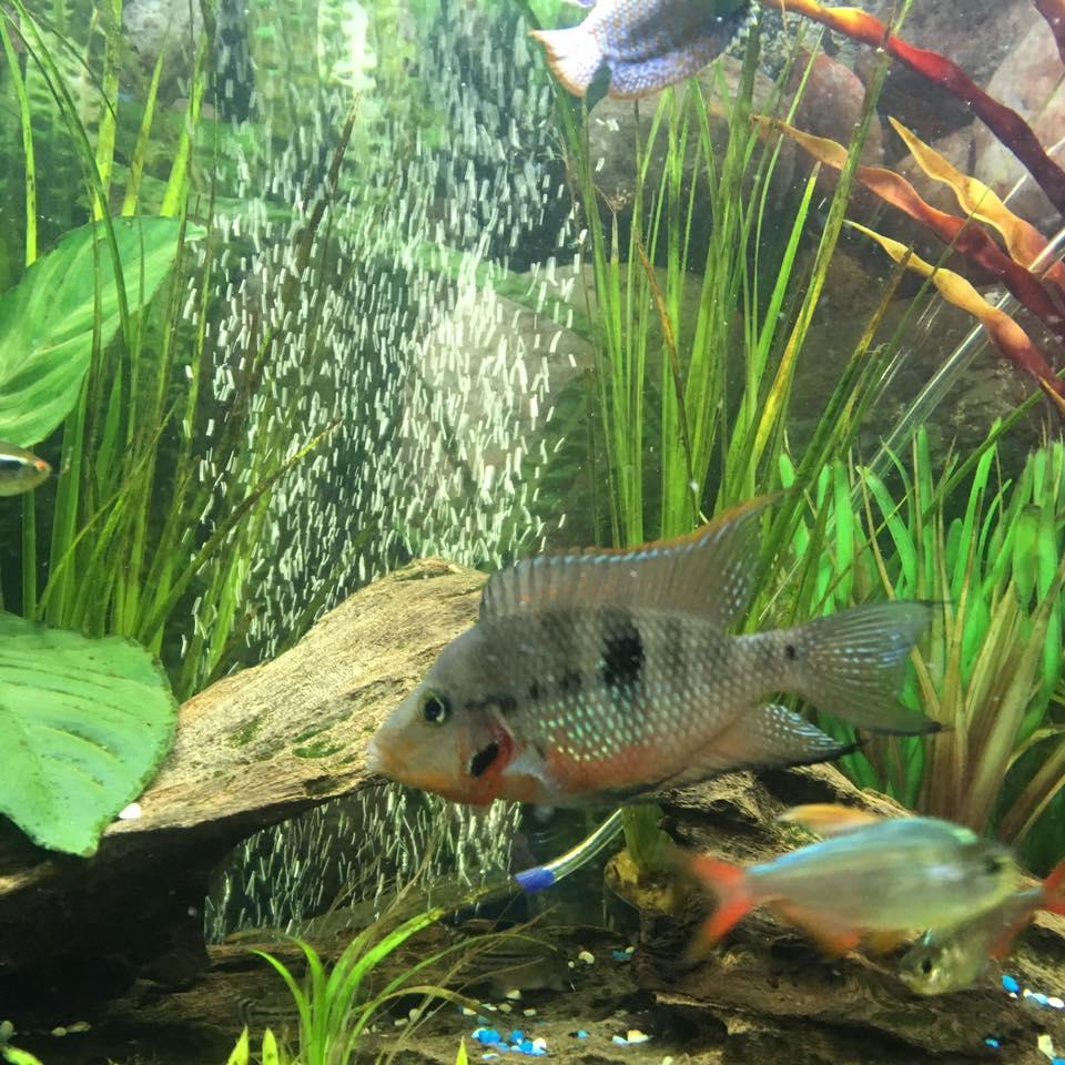Freshwater aquarium fish under 2 inches - Firemouth Cichlid Kim Randell Jpg